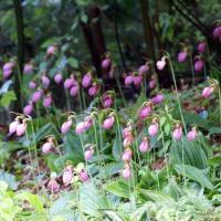pink lady slipper flowers