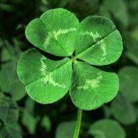 Lucky four-leaf clover