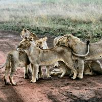Pack of lions