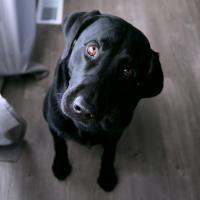 Large black dog sitting and listening