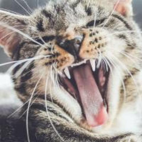 Angry cat snarling and showing its teeth, photo by Erik-Jan Leusink