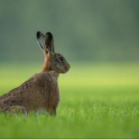 Rabbit with its ears up, photo by Vincent van Zalinge