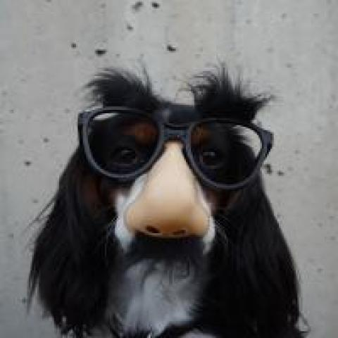 Cute dog wearing a disguise with a fake nose and glasses